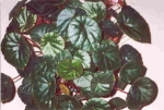 Begonia coriacea