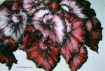 Begonia 'Cranberry Curl'