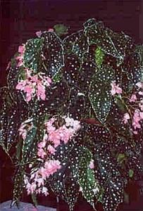 Begonia Flamingo Queen