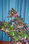 Begonia 'Margaret Mitchell'