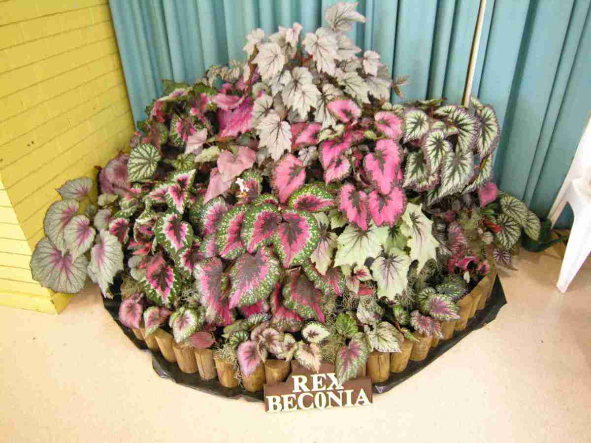 Artistic Static Display of Rex Begonias