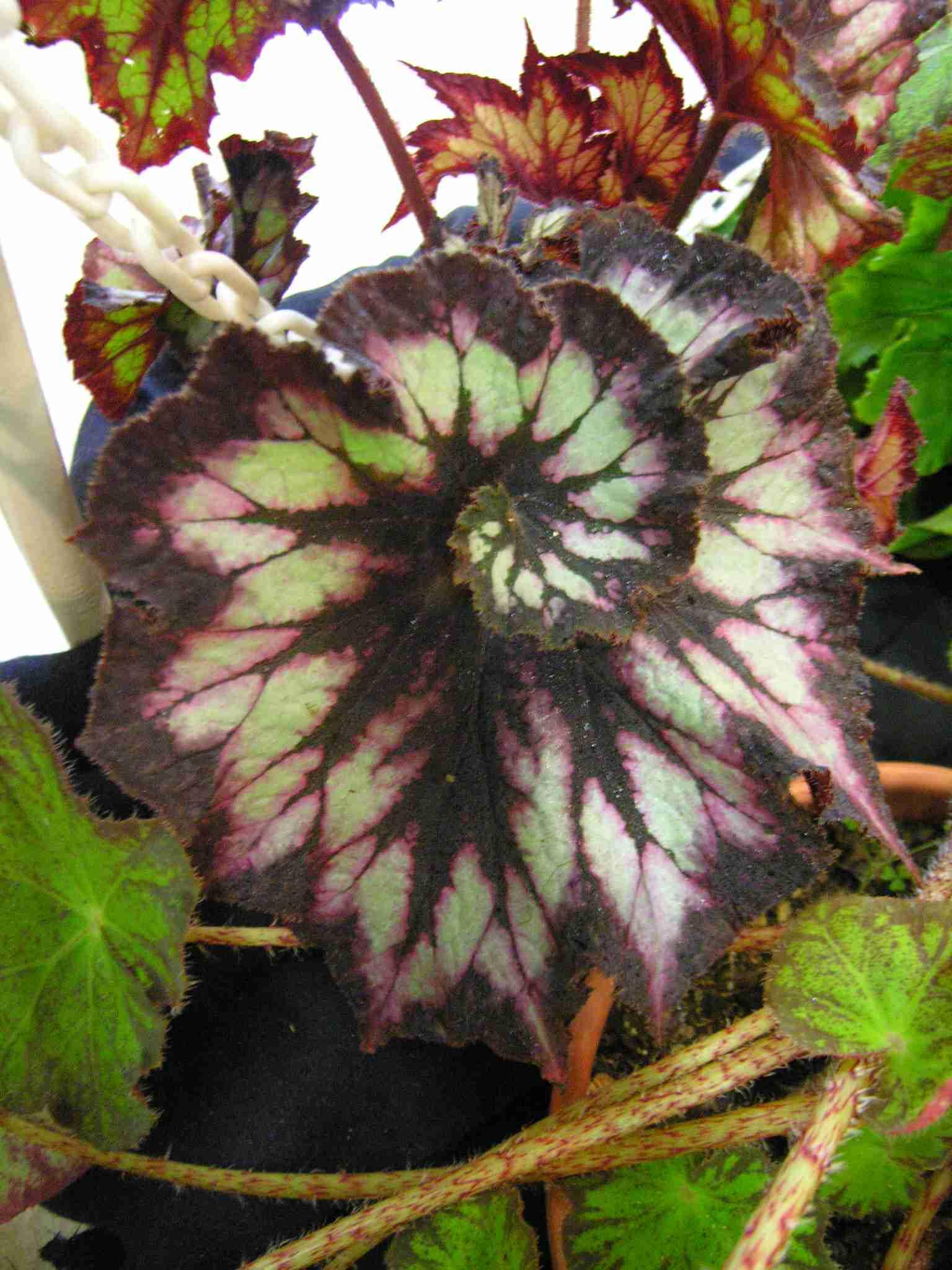 Rex Begonia Facts Begonia Rex Spiral