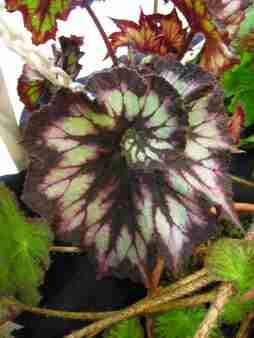 Begonia Rex Spiral
