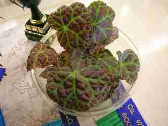 Best Species of Show (Class 22) Begonia Rajah by Enid Henderson