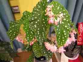 Cane-Like Hybrid (Class 19) Begonia Flamingo Queen