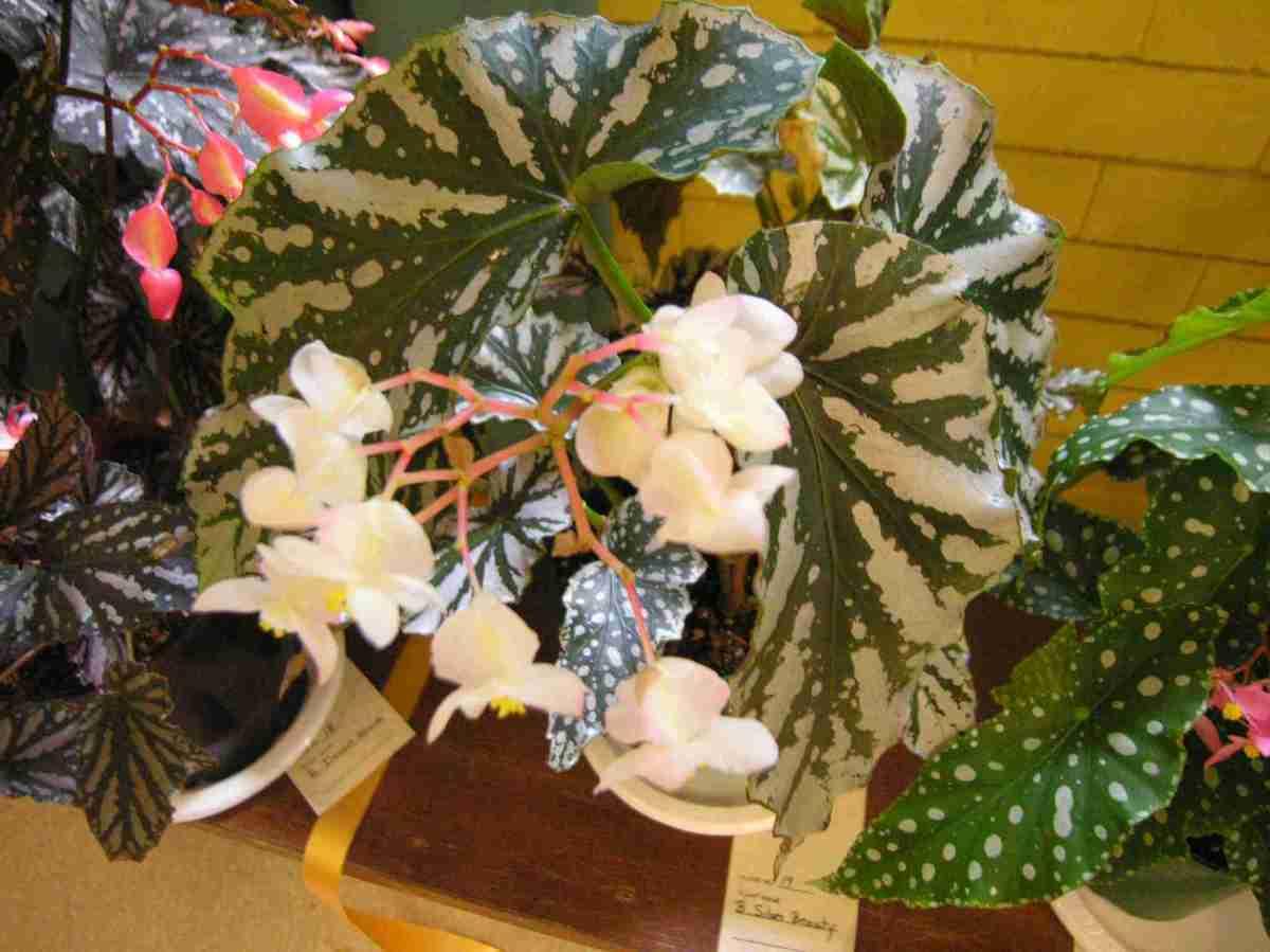 Cane-Like Hybrid (Class 19) Begonia Silver Beauty