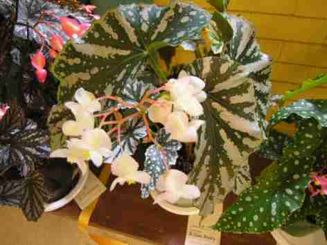 Cane-Like Hybrid (Class 19) Begonia Silver Beauty