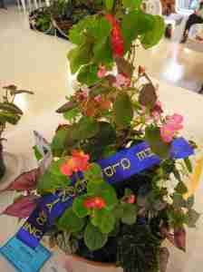 First Prize in Artistic Begonia Display (Class 23) My Garden by Shevanti