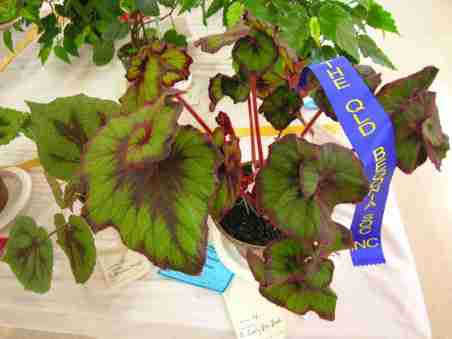 First Prize in Rhizomatous with Distinctive Foliage (Class 4) Begonia Curly Fire Flush by Joan Taylor