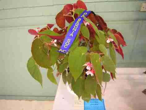First Prize in Shrub-Like Hybrid (Class 14) Begonia Wally by Enid Henderson
