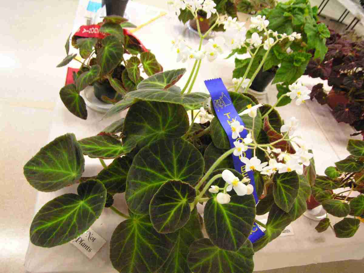First Prize in Shrub-Like with Distinctive Foliage (Class 15) Begonia Caravan by J. Hinze