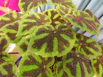 Rhizomatous Begonia Iron Cross