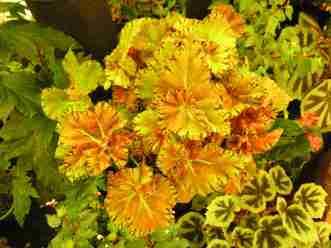 Rhizomatous Begonias