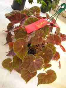 Second Prize in Begonia in Hanging Container (Class 11) by Barbara Blacka