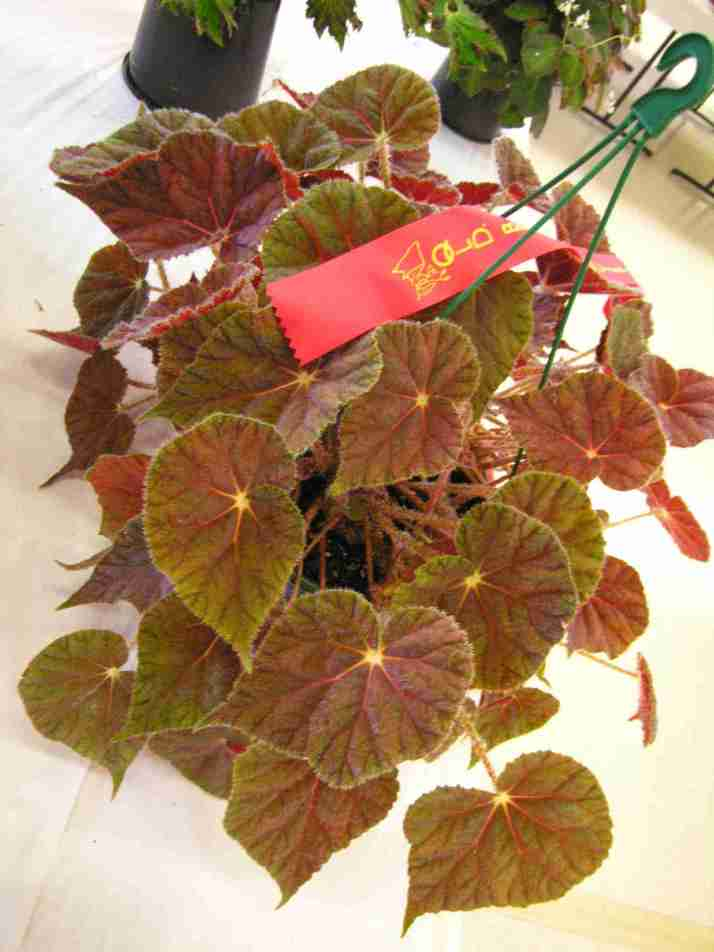Begonia in Hanging Pot