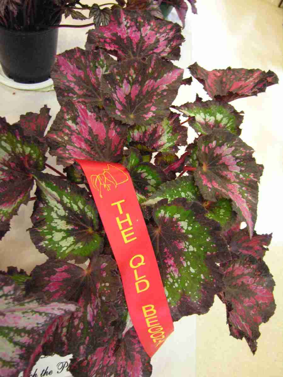 Second Prize in Begonia Rex Cultorum (Class 7) Begonia Ellanora Princes by A. Ludwig