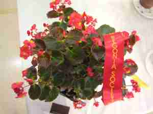 Second Prize in Begonia Semperflorens (Class 8) Begonia Bronze Leaf by Betty Vanderpoorten