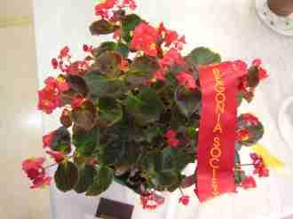 Second Prize in Begonia Semperflorens (Class 8) Begonia Bronze Leaf by Betty Vanderpoorten