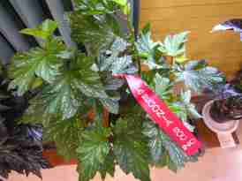 Second Prize in Cane-Like Hybrid Superba Type (Class 20) Begonia Silver Sparkles by Kev and Marge Heineman