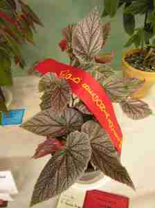 Second Prize in Shrub-Like Hybrid (Class 14) Begonia Maurice Amy by Kevin Schulz