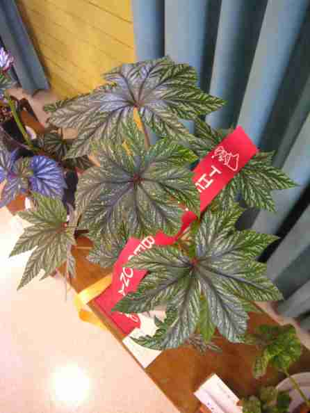 Second Prize in Thick Stemmed (Class 21) Begonia Gryphon by Enid Henderson