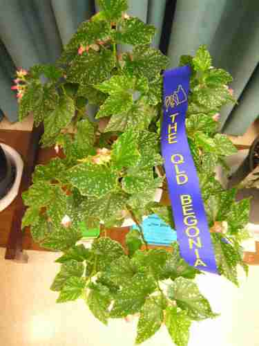 Special Award and First Prize in Cane-Like Hybrid (Class 19) Begonia Amber Meyer by Don Blacka