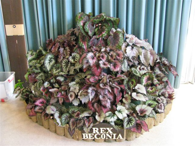 Rex Cultorum Begonia Display (2011)