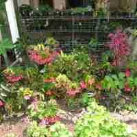 Betty Vander Poorten's Begonia Collection