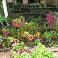 Propagating Cane Begonias
