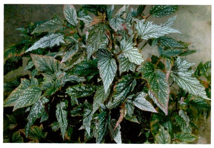 Begonia 'Dancing Girl', American hybrid produced by Logee's Greenhouse – Shrub-like Class