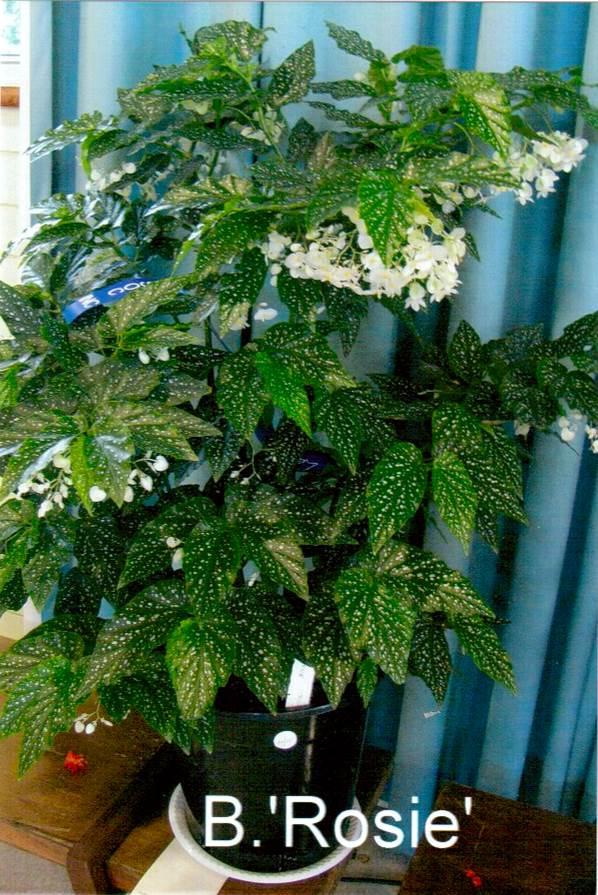 Begonia 'Rosie' won 1st PRIZE – Cane-like Class
