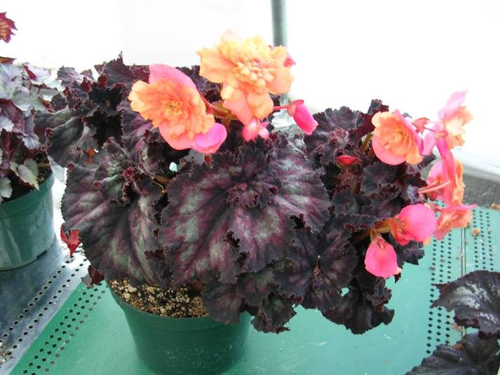Experimental Cross of Rex and Tuberous Begonias [1]