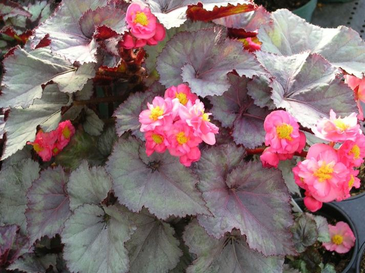 Experimental Cross of Rex and Tuberous Begonias [2]