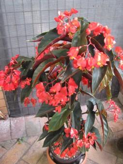 Flyer 2019 Cane Begonia